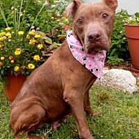 Pit Bull Terrier Mix Dog for adoption in Tyler, Texas - Mercy