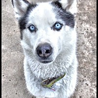 Siberian Husky Dog for adoption in Monument, Colorado - Indiana