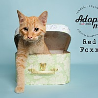 Domestic Shorthair Kitten for adoption in Pearland, Texas - Red Foxx