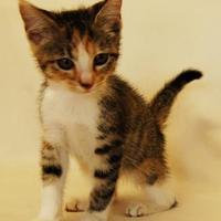 Adopt A Pet :: Cheeto - Toccoa, GA