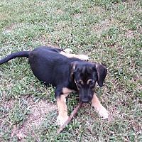 Adopt A Pet :: Peaches - ST LOUIS, MO