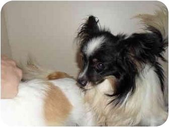 Papillon Dog for adoption in SLC, Utah - Mason