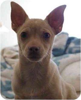 Chihuahua/Pug Mix Puppy for adoption in Phoenix, Arizona - Ralphie
