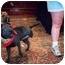 Photo 2 - Shar Pei Dog for adoption in Houston, Texas - Sweetie