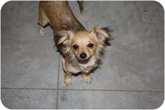 Dachshund/Chihuahua Mix Dog for adoption in Saskatoon, Saskatchewan - Nina