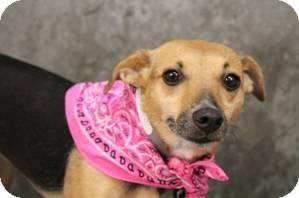Chihuahua/Beagle Mix Dog for adoption in Charleston, South Carolina - Ginger