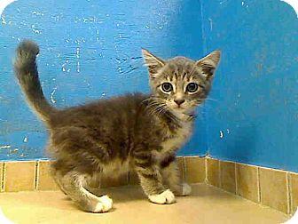 Domestic Mediumhair Kitten for adoption in East Brunswick, New Jersey - Elizabeth