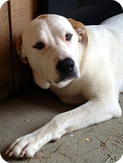 Labrador Retriever/Hound (Unknown Type) Mix Dog for adoption in Salem, New Hampshire - JACKPOT
