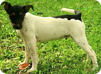 Jack Russell Terrier Mix Puppy for adoption in Plainfield, Connecticut - Malcolm