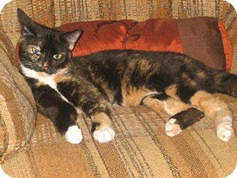 Domestic Shorthair Cat for adoption in Winston-Salem, North Carolina - Mittens