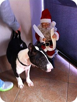 Bull Terrier Puppy for adoption in Houston, Texas - Alfie