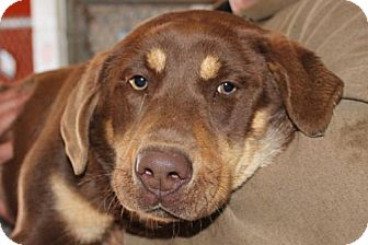 Labrador Retriever Mix Puppy for adoption in Hagerstown, Maryland - Willow