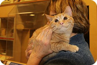 Domestic Shorthair Cat for adoption in Rochester, Minnesota - Brinkley