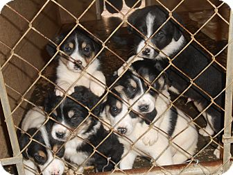 Border Collie Mix Puppy for adoption in Falls Mills, Virginia - border collie pups