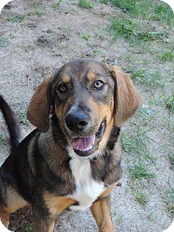 Labrador Retriever/Shepherd (Unknown Type) Mix Puppy for adoption in Brookings, South Dakota - Kahlua