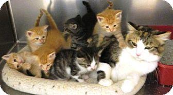 Domestic Shorthair Cat for adoption in Columbus, Nebraska - Rosemary
