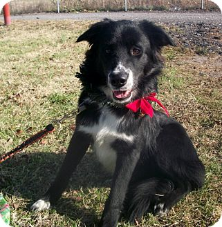 Collie Mix Dog for adoption in Paducah, Kentucky - Domino