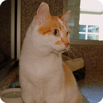Domestic Shorthair Cat for adoption in Aiken, South Carolina - Neo
