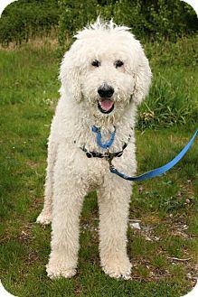 Standard Poodle Mix Dog for adoption in Bellingham, Washington - Rex