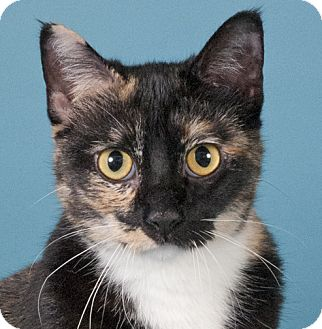 Domestic Shorthair Cat for adoption in Chicago, Illinois - Poppy
