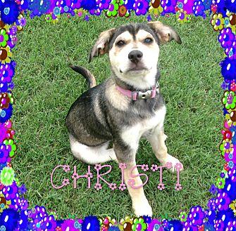 Siberian Husky/English Shepherd Mix Dog for adoption in Houston, Texas - Christi