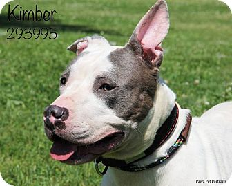 American Staffordshire Terrier/Terrier (Unknown Type, Medium) Mix Dog for adoption in Troy, Michigan - Kimber