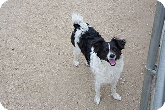 Pomeranian/Terrier (Unknown Type, Small) Mix Dog for adoption in Nuevo, California - Pepper