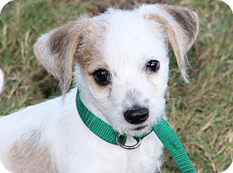 Parson Russell Terrier Mix Puppy for adoption in Olympia, Washington - Harvey