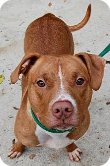 Pit Bull Terrier Mix Dog for adoption in Rockville, Maryland - Tyson