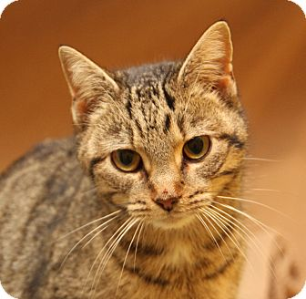 Domestic Shorthair Cat for adoption in Marietta, Ohio - Timber (Spayed)