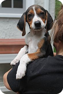 Beagle/Treeing Walker Coonhound Mix Puppy for adoption in Mt. Prospect, Illinois - Diglet