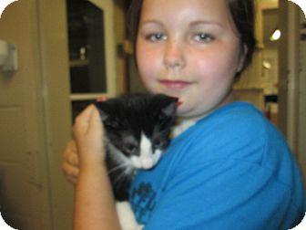 Domestic Shorthair Kitten for adoption in Henderson, North Carolina - Oreo