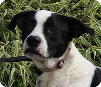 Labrador Retriever Mix Dog for adoption in Monroe, Michigan - Gilligan