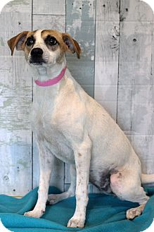 Jack Russell Terrier Mix Dog for adoption in Waldorf, Maryland - Raven