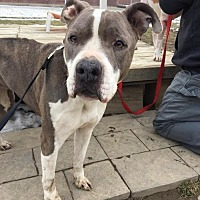 American Staffordshire Terrier Mix Dog for adoption in Whitestone, New York - Izzy (Bonded Pair)