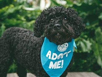 Golden Retriever/Poodle (Miniature) Mix Dog for adoption in Pacific Grove, California - Andie