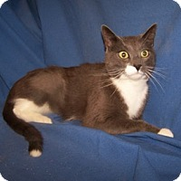 Adopt A Pet :: K-Yvonne3-Socks - Colorado Springs, CO