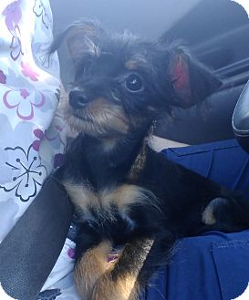 Miniature Pinscher/Poodle (Toy or Tea Cup) Mix Puppy for adoption in Fort Lauderdale, Florida - Julianna