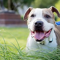 American Staffordshire Terrier/Boxer Mix Dog for adoption in Vancouver, British Columbia - Bogey Boggs