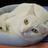 Adopt A Pet :: SnoBall - Rochester, NY