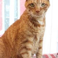 Adopt A Pet :: O.C. (Orange Cat) - Bristol, IN