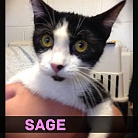 Adopt A Pet :: Sage - Hartford City, IN
