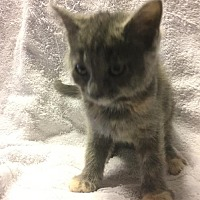 Adopt A Pet :: Starshine - Fishers, IN