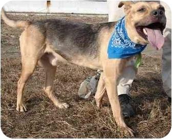 German Shepherd Dog/Labrador Retriever Mix Dog for adoption in Freeport, New York - Mannie