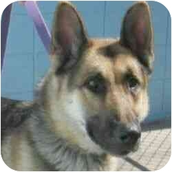 German Shepherd Dog Dog for adoption in Berkeley, California - Jeremiah