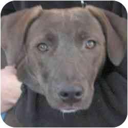 Labrador Retriever Mix Dog for adoption in Berkeley, California - Robin