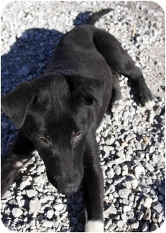Labrador Retriever Mix Dog for adoption in Dublin, Texas - Slick