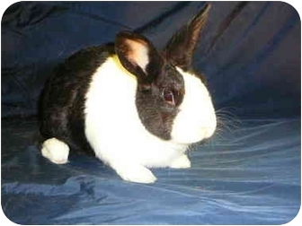 Dutch Mix for adoption in Newport, Delaware - Mr Peepers