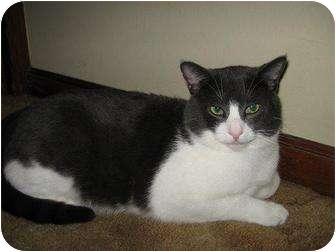 Domestic Shorthair Cat for adoption in Roseville, Minnesota - Reggie