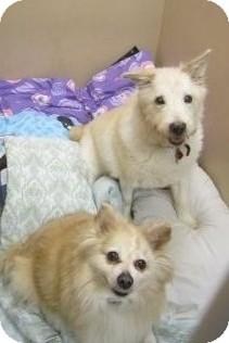 Eskimo Dog/Terrier (Unknown Type, Medium) Mix Dog for adoption in Clementon, New Jersey - Smarty Jones & Duke